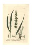 Rough Bristle Grass, Setaria Verticillata, From Baxter's British Phaenogamous Botany, 1836 Giclee Print by Charles Mathews