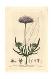 Field Scabious, Knautia Arvensis, From William Baxter's British Phaenogamous Botany, 1836 Giclee Print by Isaac Russell