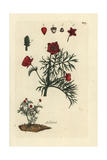 "Pheasant's Eye, Adonis Annua, From Pierre Bulliard's ""Flora Parisiensis,"" 1776, Paris Giclee Print by Pierre Bulliard"