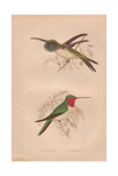 Ruby-throated, Calothorax Lucifer, And Amethystine Hummingbird, Calliphlox Amethystina Giclee Print by Henry Gardiner Adams