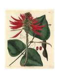 Naked-flowering Coral-tree, Erythrina Poianthes Or Erythrina Speciosa Andrews Giclee Print by Reverend R. T. Lowe