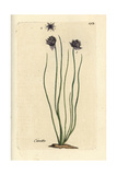 "Chives, Allium Schoenoprasum, From Pierre Bulliard's ""Flora Parisiensis,"" 1776, Paris Giclee Print by Pierre Bulliard"