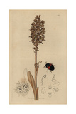 Tritoma Bipustulatum, Tritoma Bipustulata, Double-spotted Tritoma Beetle, with Bird's Nest Orchis Giclee Print by John Curtis