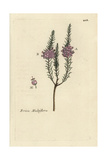 "Mediterranean Heath, Erica Multiflora, From Pierre Bulliard's ""Flora Parisiensis,"" 1776, Paris Giclee Print by Pierre Bulliard"