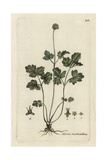 "Muskroot, Adoxa Moschatellina, From Pierre Bulliard's ""Flora Parisiensis,"" 1776, Paris Giclee Print by Pierre Bulliard"