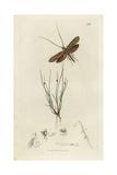 Adela Frischella, Coleophora Frischella, Frisch's Japan, Long-horn Or Frisch's Case-moth Giclee Print by John Curtis