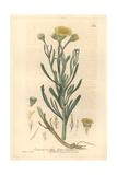 Golden Samphire, Limbarda Tricuspis, From William Baxter's British Phaenogamous Botany, 1842 Giclee Print by Charles Mathews