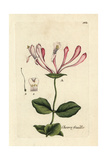 "Common Honeysuckle, Lonicera Periclymenum, From Pierre Bulliard's ""Flora Parisiensis,"" 1776, Paris Giclee Print by Pierre Bulliard"