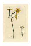 "Jonquil, Narcissus Jonquilla, From Pierre Bulliard's ""Flora Parisiensis,"" 1776, Paris Giclee Print by Pierre Bulliard"