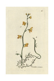 "Common Bladderwort, Utricularia Vulgaris, From Pierre Bulliard's ""Flora Parisiensis,"" 1776, Paris Giclee Print by Pierre Bulliard"