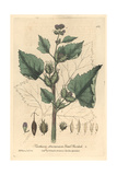 Small Burdock, Xanthium Strumarium, From William Baxter's British Phaenogamous Botany, 1842 Giclee Print by Charles Mathews