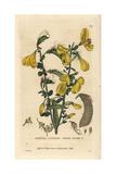 Common Broom, Spartium Scoparium, From William Baxter's British Phaenogamous Botany, 1834 Giclee Print by William Delamotte