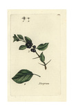 "Purging Buckthorn, Ramnus Cathartica, From Pierre Bulliard's ""Flora Parisiensis,"" 1776, Paris Giclee Print by Pierre Bulliard"