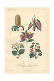 Yellow Banksia, Caladium, Purple Bougainvillea, Pink Begonia, And Scarlet Begonia Giclee Print by Edouard Maubert