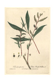 Bitter Purple Willow, Salix Purpurea, From William Baxter's British Phaenogamous Botany, 1841 Giclee Print by Charles Mathews