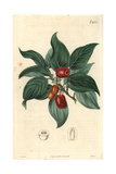 Cornelian Cherry Cornus Mascula Austrian Cherry with Fruit on the Branch Giclee Print by Miss C. Curtis