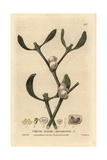 Mistletoe, Viscum Album, From William Baxter's British Phaenogamous Botany, 1834 Giclee Print by Isaac Russell