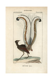 Superb Lyrebird From Sainte-Croix's Dictionary of Natural Science: Ornithology, Paris, 1816-1830 Giclee Print