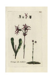 "Ragged Robin, Lychnis Flos-cuculi, From Pierre Bulliard's ""Flora Parisiensis,"" 1776, Paris Giclee Print by Pierre Bulliard"