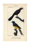 Smoothbilled Ani And White-tailed Trogon Giclee Print