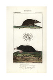 Shrew And Star-nosed Mole From Frederic Cuvier's Dictionary of Natural Science: Mammals Giclee Print