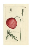 "Long Headed Poppy, Papaver Dubium, From Pierre Bulliard's ""Flora Parisiensis,"" 1776, Paris Giclee Print by Pierre Bulliard"