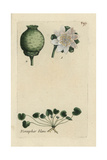 White Water Lily, Nymphaea Alba Giclee Print by Pierre Bulliard