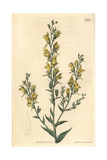 Tall Broom-like Toad Flax, Linaria Genistifolia Var. Procera Giclee Print by John Curtis