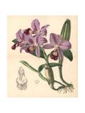 Mr. Skinner's Cattleya Orchid, Cattleya Skinneri Giclee Print by Walter Hood Fitch