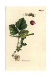 "Raspberry, Rubus Idaeus, From Pierre Bulliard's ""Flora Parisiensis,"" 1776, Paris Giclee Print by Pierre Bulliard"