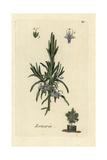 "Rosemary, Rosmarinus Officinalis, From Pierre Bulliard's ""Flora Parisiensis,"" 1776, Paris Giclee Print by Pierre Bulliard"