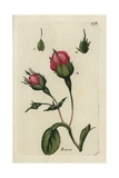 "Provence Rose, Rosa Centifolia, From Pierre Bulliard's ""Flora Parisiensis,"" 1776, Paris Giclee Print by Pierre Bulliard"