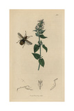 Atractus Literatus, Arenocoris Fallenii, Lettered Coreus Squash Bug, with Catmint Giclee Print by John Curtis