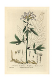 Bulbiferous Coral Root, Dentaria Bulbifera, From W. Baxter's British Phaenogamous Botany, 1835 Giclee Print by Charles Mathews