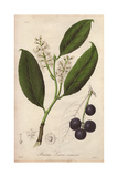 Cherry Laurel Tree, Prunus Laurocerasus, with Black Cherries Giclee Print by G. Reid