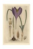 Naked-flowering Crocus, Crocus Nudiflorus, From W. Baxter's British Phaenogamous Botany, 1835 Giclée-Druck von Isaac Russell