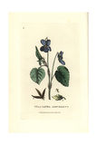 Dog's Violet, Viola Canina, From William Baxter's British Phaenogamous Botany, 1834 Giclee Print by Isaac Russell