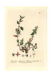 Wall Pellitory, Parietaria Officinalis, From William Baxter's British Phaenogamous Botany, 1837 Giclee Print by Charles Mathews
