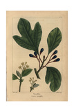 Sassafras Tree From Michaux's North American Sylva, 1857 Impression giclée par Pancrace Bessa