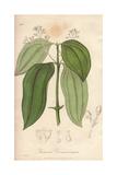 Cinnamon, Cinnamomum Verum Giclee Print by G. Reid