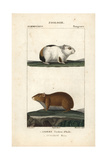 Guinea Pig And Rock Cavy From Frederic Cuvier's Dictionary of Natural Science: Mammals Giclee Print