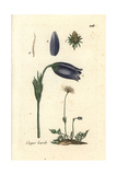 "Pasque Flower, Pulsatilla Vulgaris, From Pierre Bulliard's ""Flora Parisiensis,"" 1776, Paris Giclee Print by Pierre Bulliard"