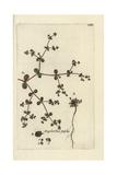 "Purple Spurge, Euphorbia Peplis, From Pierre Bulliard's ""Flora Parisiensis,"" 1776, Paris Giclee Print by Pierre Bulliard"