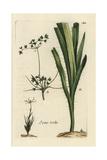 "Hairy Wood Rush, Juncus Pilosus, From Pierre Bulliard's ""Flora Parisiensis,"" 1776, Paris Giclee Print by Pierre Bulliard"