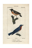 Wheatear And Bluebird From Sainte-Croix's Dictionary of Natural Science: Ornithology Giclee Print