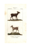 Siberian Musk Deer, Moschus Moschiferus, And Chinese Forest Musk Deer, Moschus Berezovskii Giclee Print by Jean Gabriel Pretre