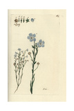 "Flax, Linum Usitatissimum, From Pierre Bulliard's ""Flora Parisiensis,"" 1776, Paris Giclee Print by Pierre Bulliard"