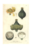 Yellow Waterlily, Nuphar Lutea, From William Baxter's British Phaenogamous Botany, Oxford, 1838 Giclee Print by Isaac Russell