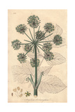 Wild Celery, Angelica Archangelica Giclee Print by E. Weddell