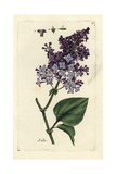 "Lilac, Syringa Vulgaris, From Pierre Bulliard's ""Flora Parisiensis,"" 1776, Paris Giclee Print by Pierre Bulliard"